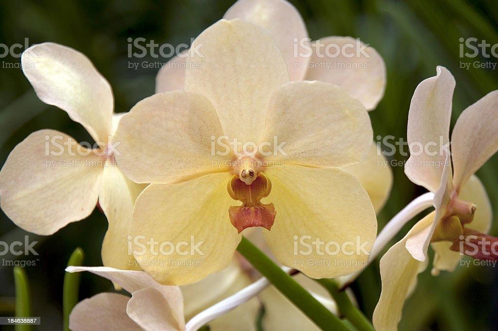 Orange Orchid stock photo