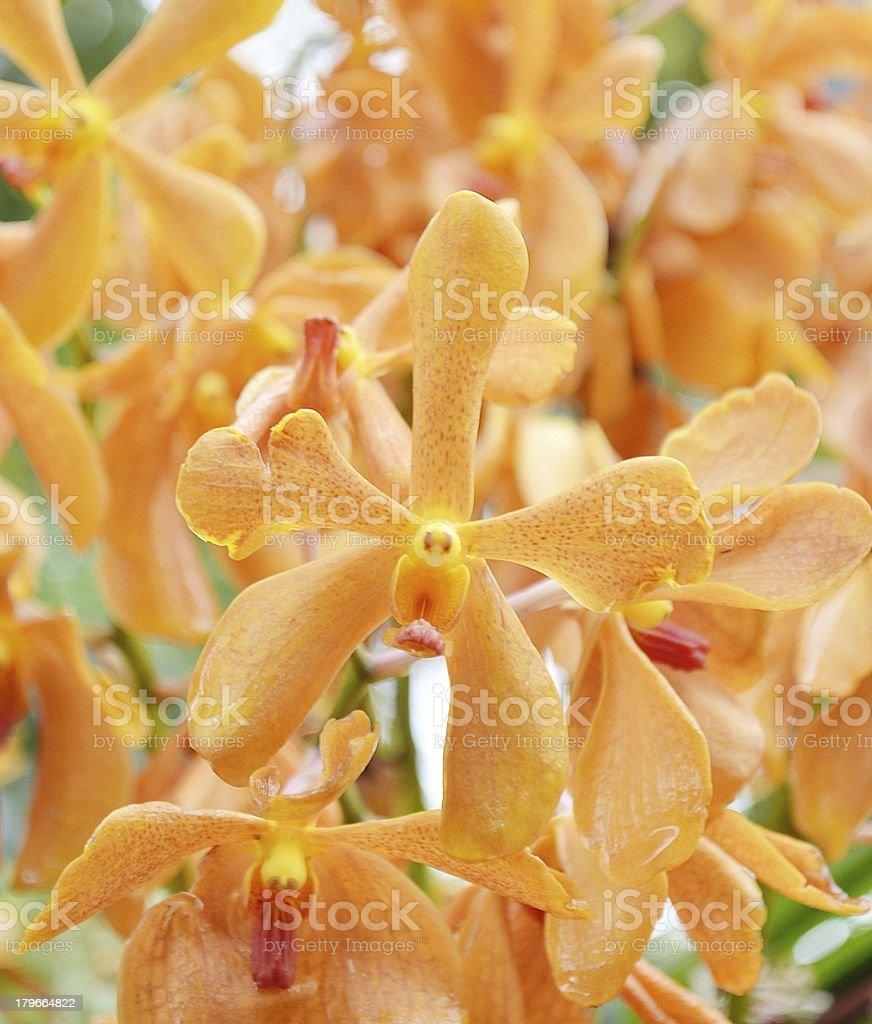 Orange orchids royalty-free stock photo