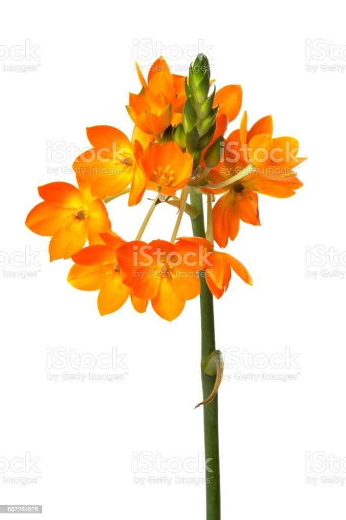 Orange Ornithogalum dubium flower stock photo