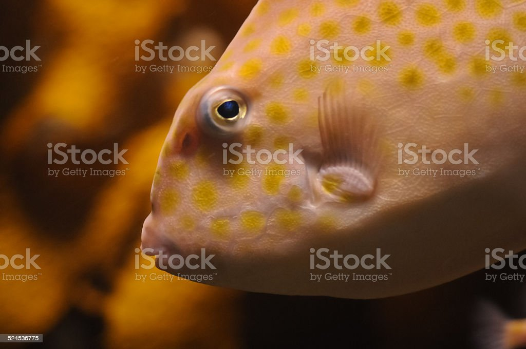 Orange parrot fish head snapshot stock photo