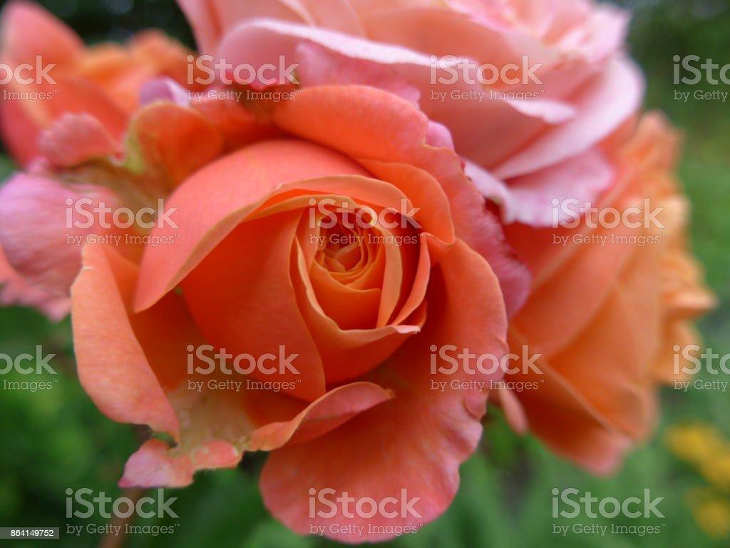 orange peach roses royalty-free stock photo