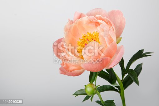Orange Peony isolated on a gray background