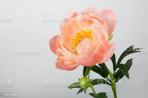 Orange peony isolated on a gray background picture id1145010036?b=1&k=6&m=1145010036&s=612x612&h=oxxxd5qdnc7cmtmpolb vytzddnpgu6j7ffqu8rc8dq=