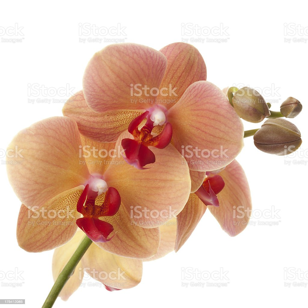 Orange Phalaenopsis orchid stock photo
