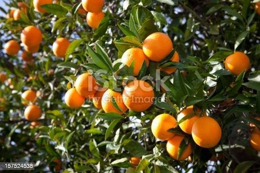 Orange (Citrus Fortunella) tree in italy flower pot isolated