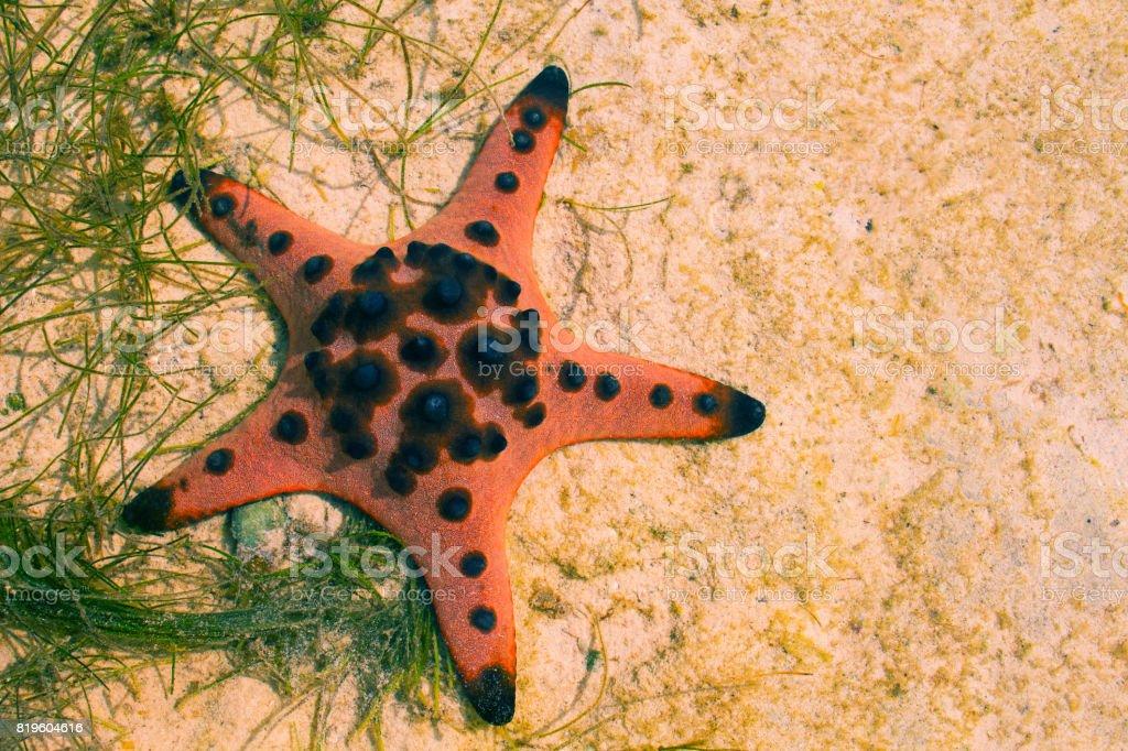 Orange pillow starfish on white sand in sea water. Shallow sea water...
