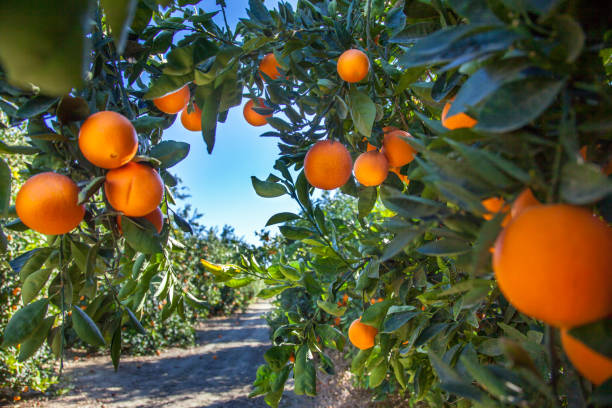 oranje plantage in californië usa - fruitboom stockfoto's en -beelden