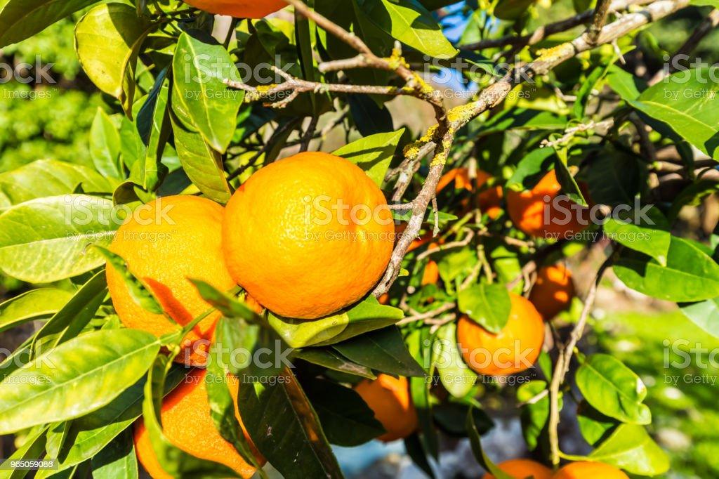 Orange plantation zbiór zdjęć royalty-free