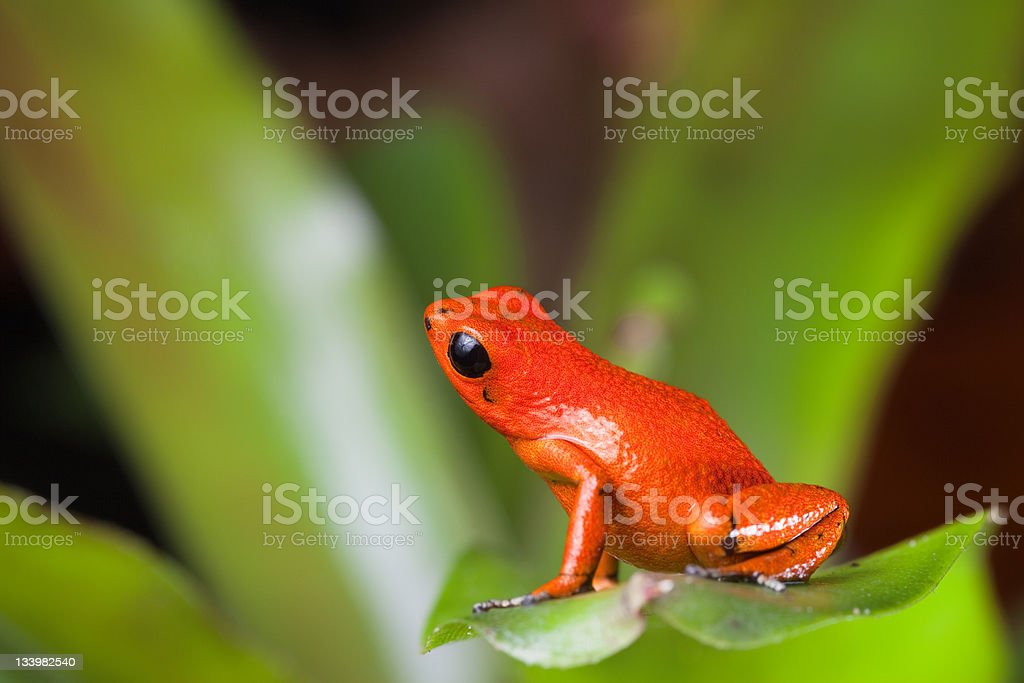 orange poison dart frog stock photo
