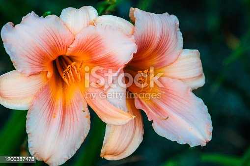 Orange pollen clings to the stamens of a pair of peach colored day lilies in a Cape Cod garden