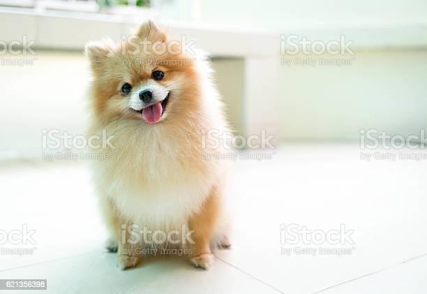 Orange pomeranian dog sleeping smile picture id621356398?b=1&k=6&m=621356398&s=612x612&h=sfysanlg d ngrnlcl32yfbmst7dwq3ddfkol7yq7ry=