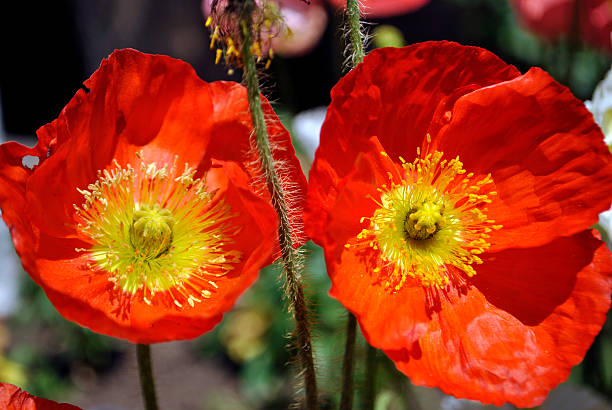 Orange Poppies 1 Close up of orange poppies. neilliebert stock pictures, royalty-free photos & images