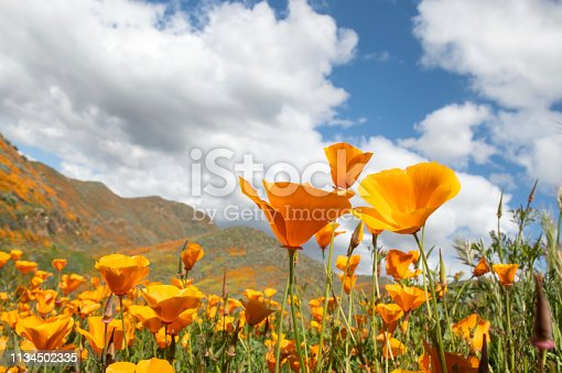 Close up view of orange poppies.  Taken during California Superbloom.