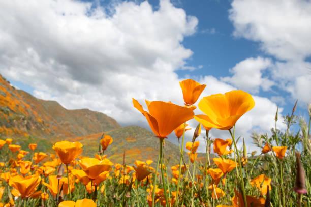 papoilas alaranjadas.  califórnia superbloom. - papoula planta - fotografias e filmes do acervo