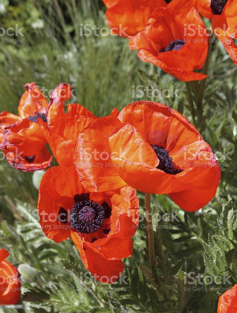 Orange Poppies stock photo
