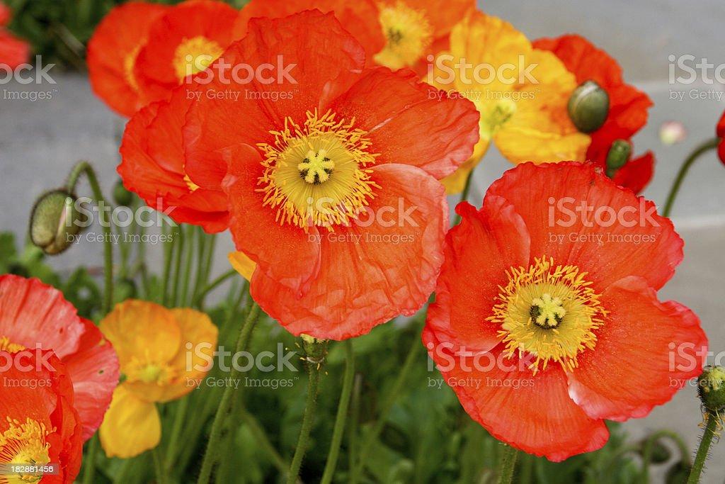 Orange Poppies royalty-free stock photo