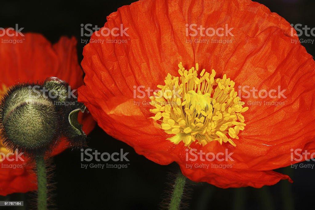 Orange poppy flower royalty-free stock photo