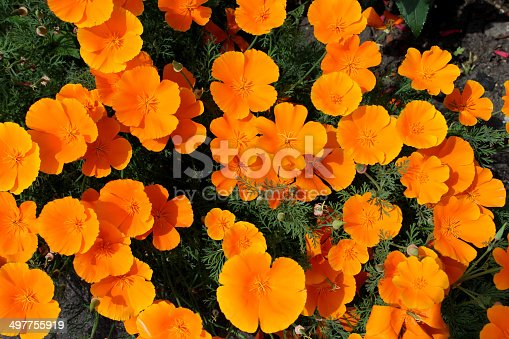 Photo showing a clump of bright orange poppies that have self seeded in an ornamental flower garden.  This variety is a hardy annual named Orange King California Poppy (Latin name: Eschscholzia Californica).