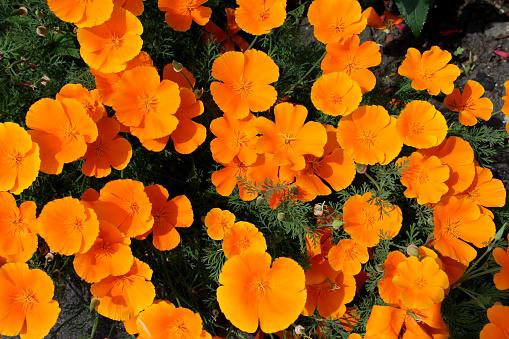Orange California poppy flower grows near white wall. Close up, copy space.