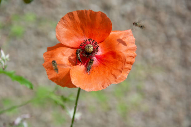 Orange poppy on beige background with 4 insects, two flying stock photo