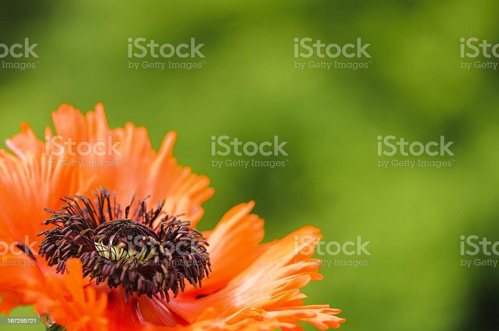 Orange poppy royalty-free stock photo