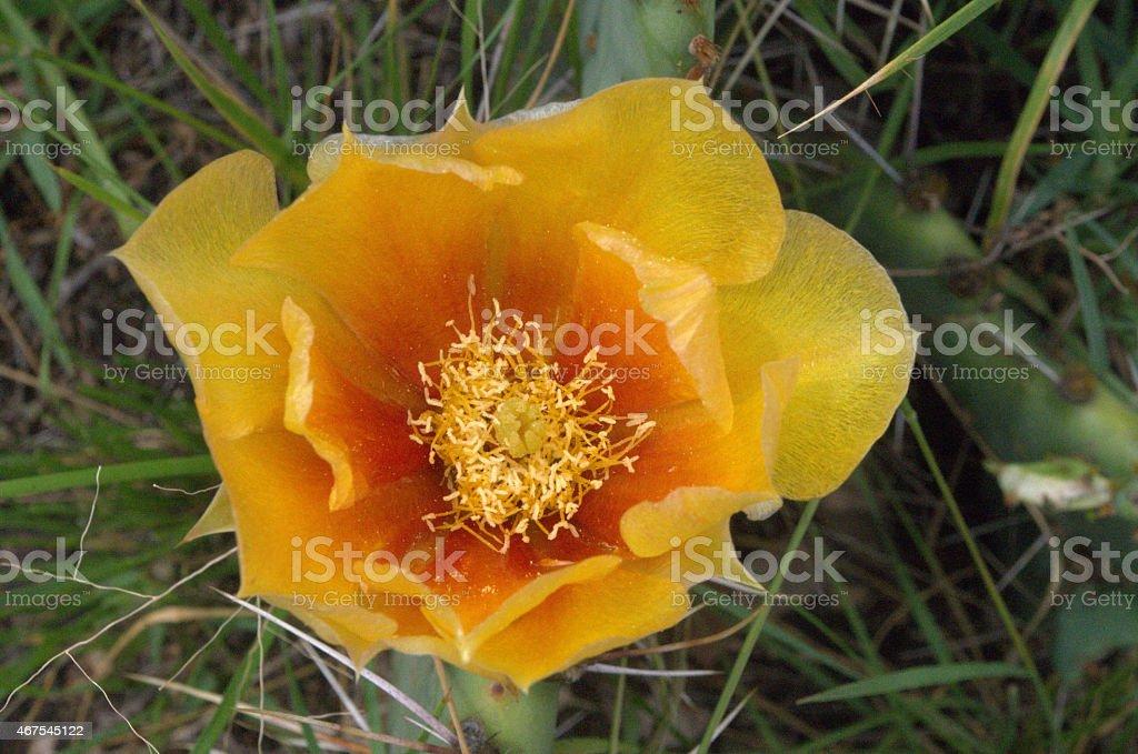 orange prickly pear blossom stock photo