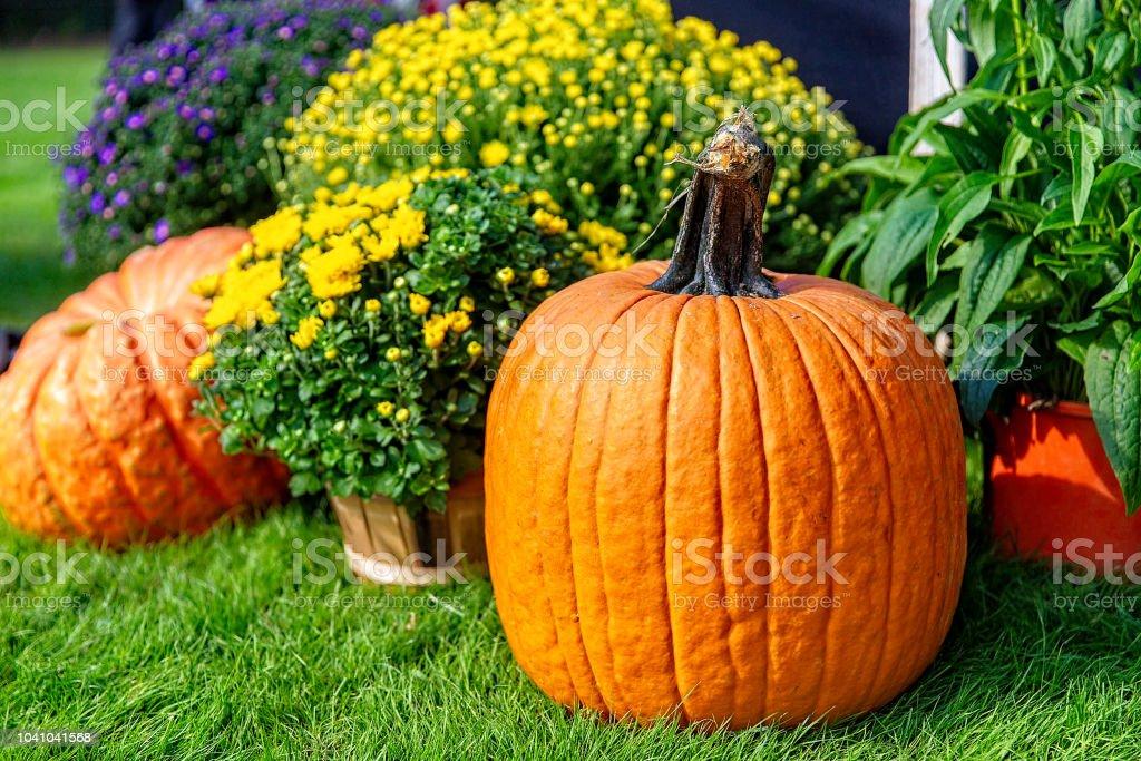 orange pumpkin and chrysanthemums in the garden stock photo