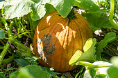 オレンジパンプキンは、パンプキンパッチで成長