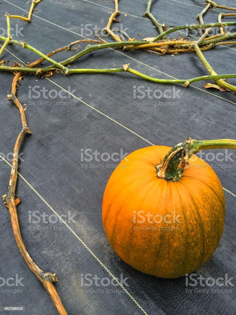 Citrouille orange qui poussent sur un potager photo libre de droits