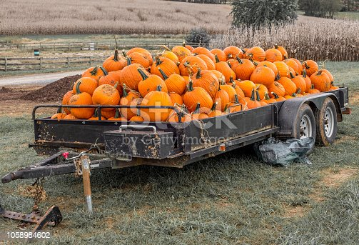 bunch of pumpkins waiting to be purchased for decoration