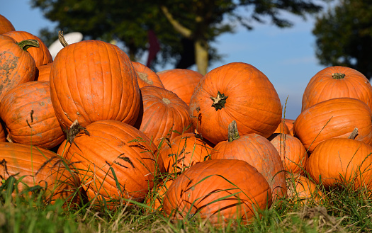 Orange pumpkins lie next to each other on a green meadow, against a blue sky and trees