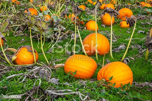 620705960istockphoto Orange Pumpkins 1044395068