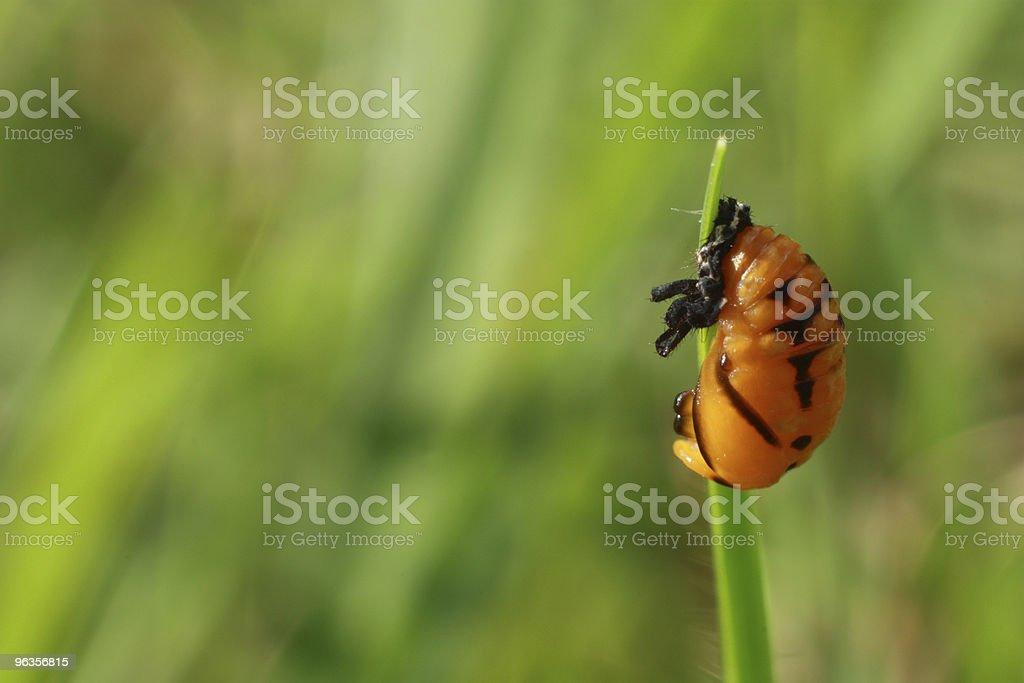 Orange pupa on grass blade royalty-free stock photo