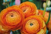 Orange ranunculus flowers
