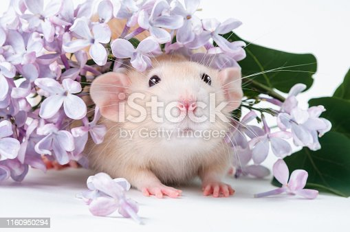 istock Orange rat with lilac flowers on a white background 1160950294
