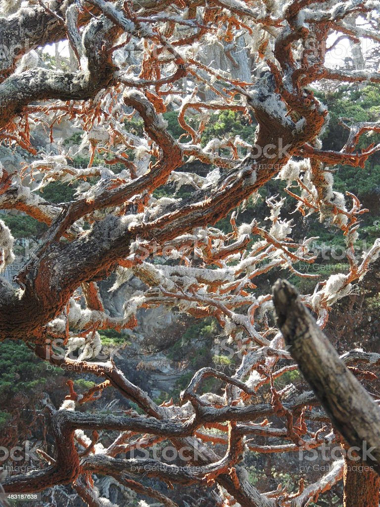 Orange Red Algae and moss growing on cyrpress tree stock photo