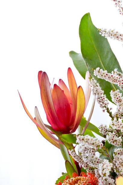 orange rot protea blume vor weißem hintergrund mit kleinen weißen blüten - protea strauß stock-fotos und bilder