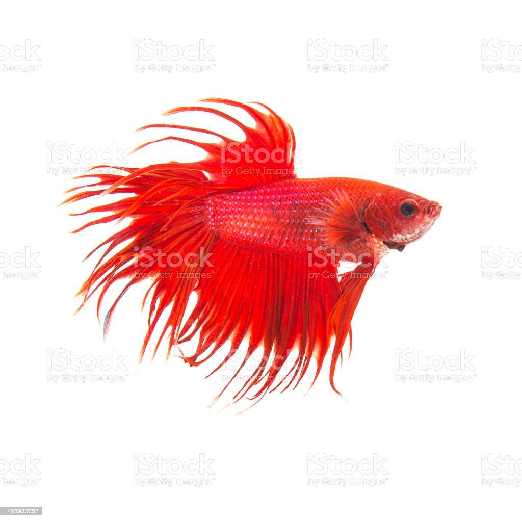 orange red siamese fighting fish stock photo