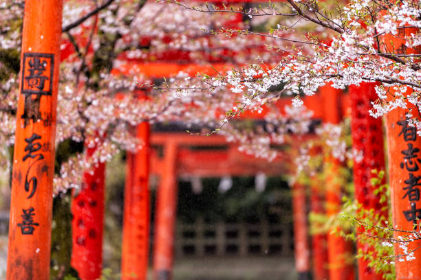 Orange red Takenaka Inari Jinja Shrine gates and cherry blossom trees in spring with blooming flowers in garden park stock photo