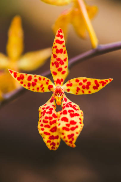 Orange Renanthera Twin star Orchidee – Foto