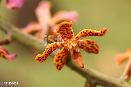 Orange Renanthera Twin star Orchids, Kauai.