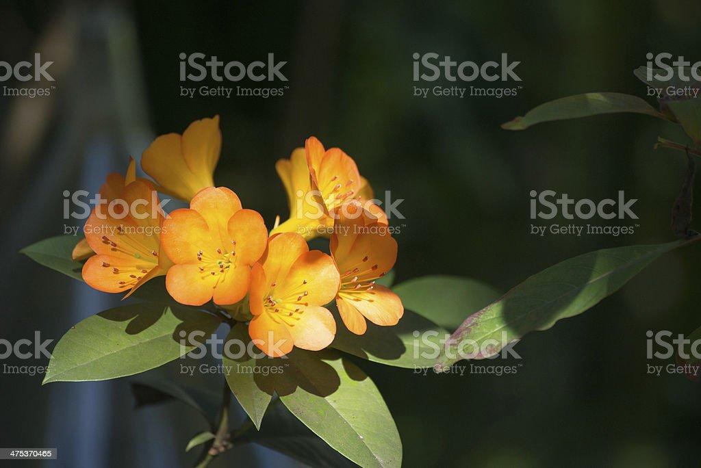 Orange Rhododendron stock photo