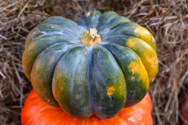 orange ribbed pumpkin and green vegetable stands on a background of hay closeup - pumpkin pie стоковые фото и изображения