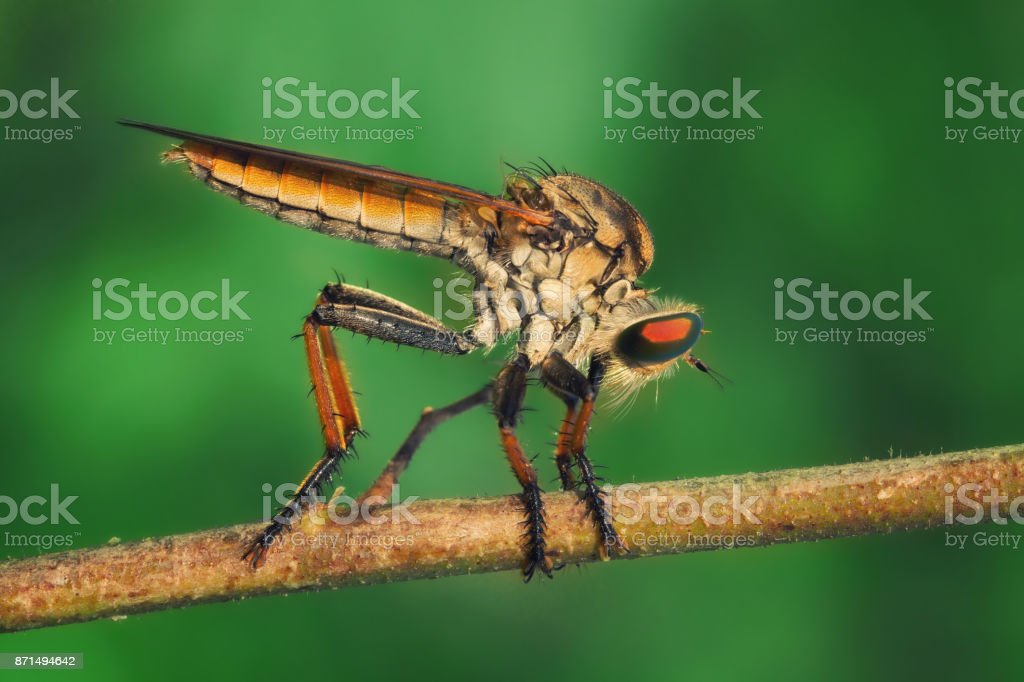 Orange Robberfly/Asilidae perches on dry twig with green background stock photo