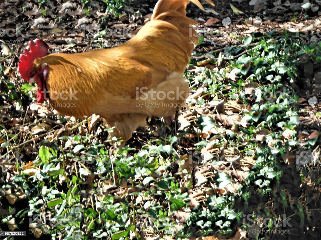 Orange Rooster Looking for Seeds stock photo