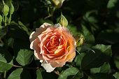 Orange rose bloom in garden