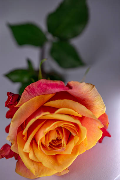 orange rose bloom with leaves stock photo