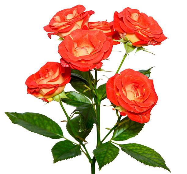 Orange rose bush picture id503299386?b=1&k=6&m=503299386&s=612x612&w=0&h=i2li3zlzt9rdukpvhw6xzxrqotm2lncsu0o54z7kpoo=