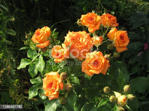 Orange rose flowers on the rose bush in the garden in summer. Gardening of Ukraine