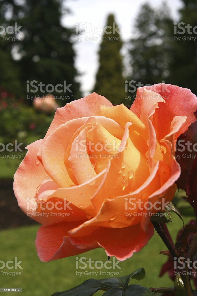Orange rose in bloom royalty-free stock photo